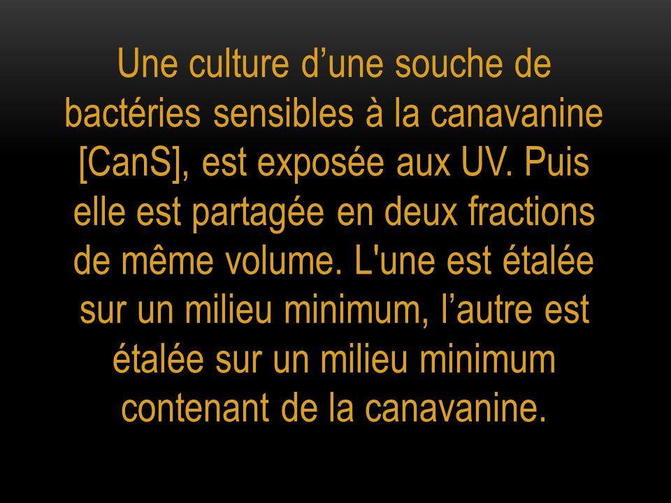 Une culture d'une souche de bactéries sensibles à la canavanine [CanS], est exposée aux UV.
